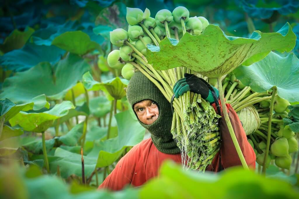 A man harvesting large crops. He is carrying them on his shoulder.